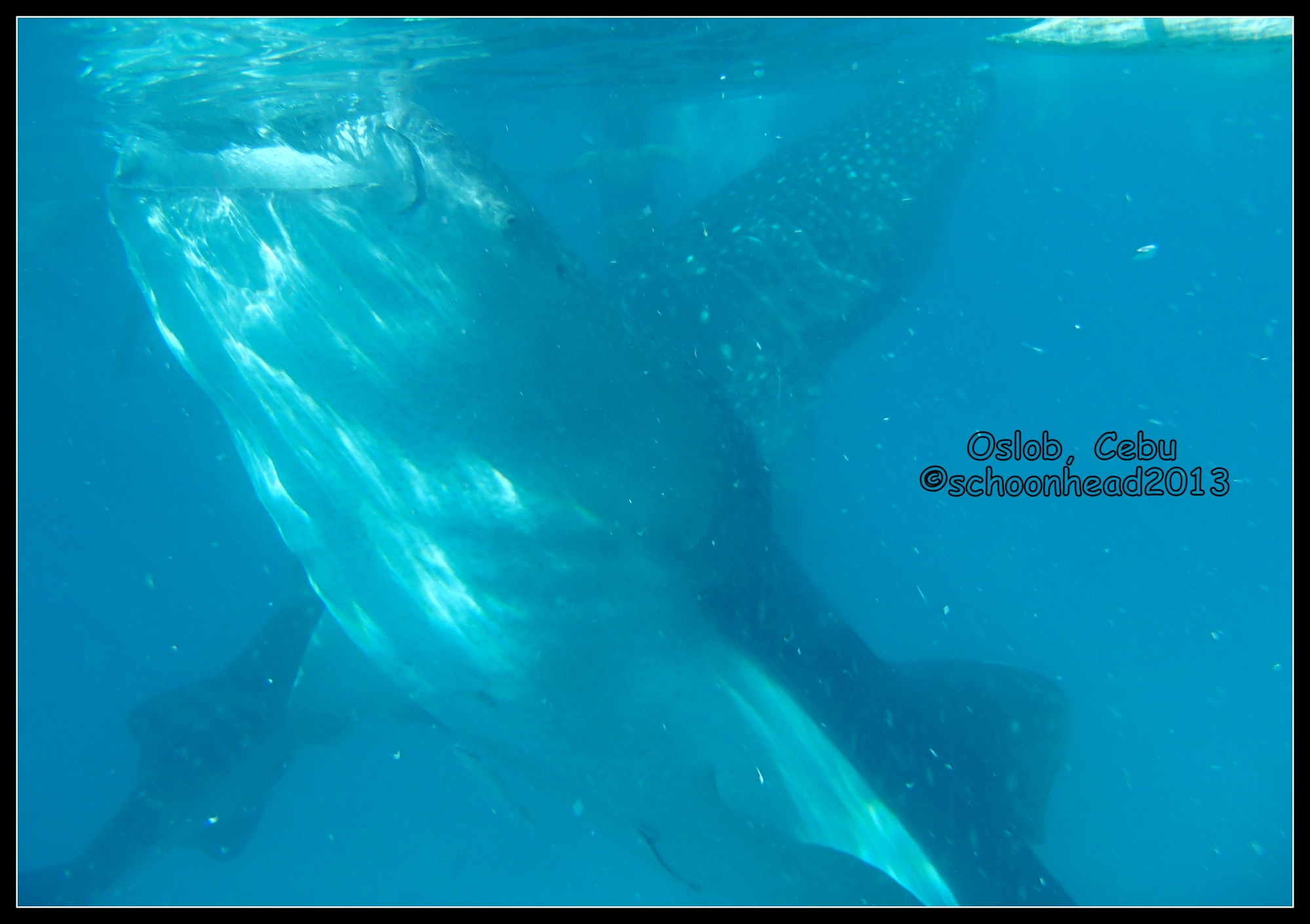 Two whale sharks in one shot!